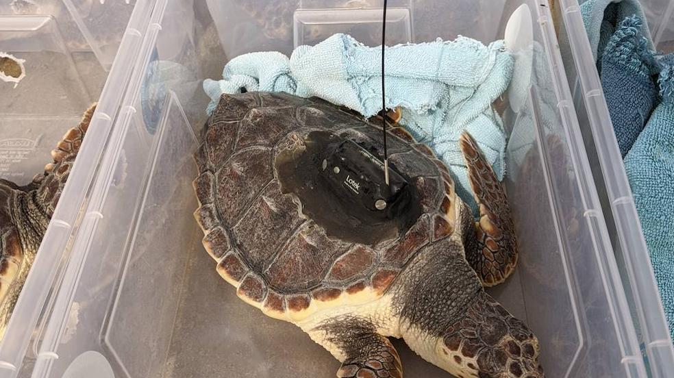 Así ha sido la suelta de tortugas en Cullera