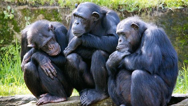 Descubren una nueva vacuna para salvar a los chimpancés del ébola
