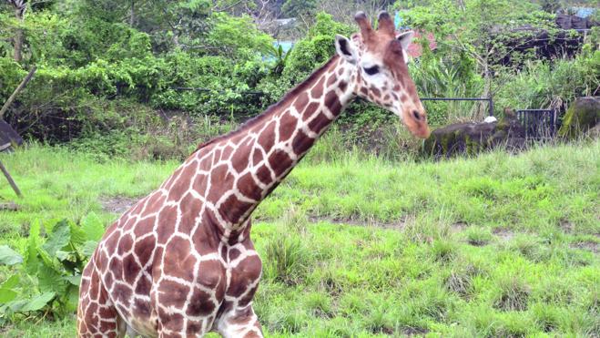 La jirafa se convierte en una especie en peligro de extinción