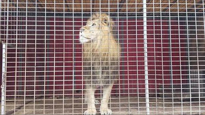 La Guardia Civil rescata a un león encerrado durante un año en una jaula sellada