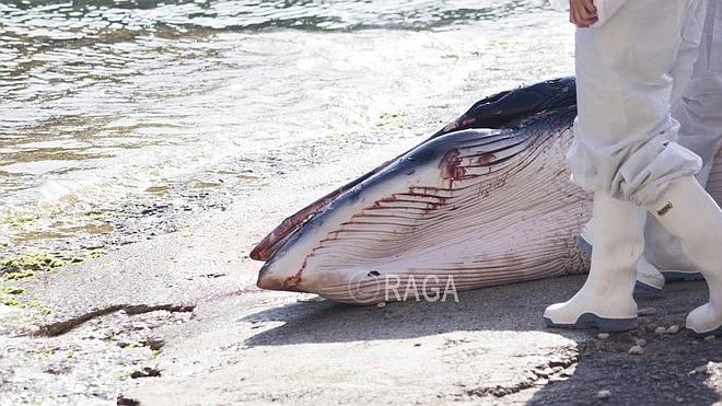Aparece un cachalote de 3 metros en una playa de Xàbia