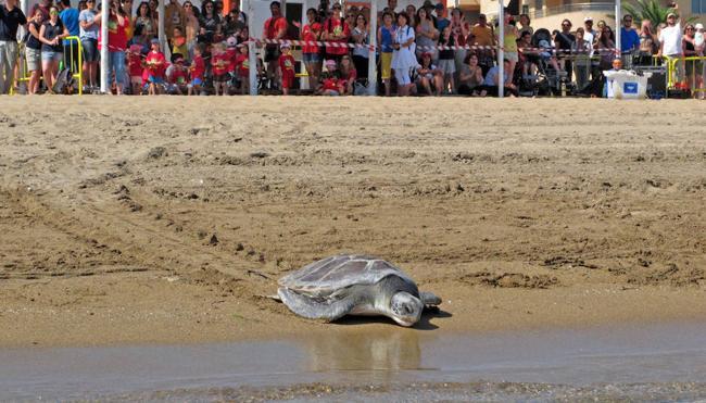 Dos tortugas regresan al mar en Dénia ante 1.200 escolares