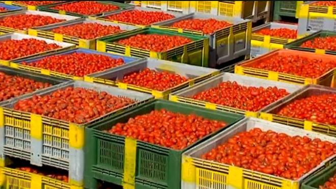 La Tomatina prepara su «munición»