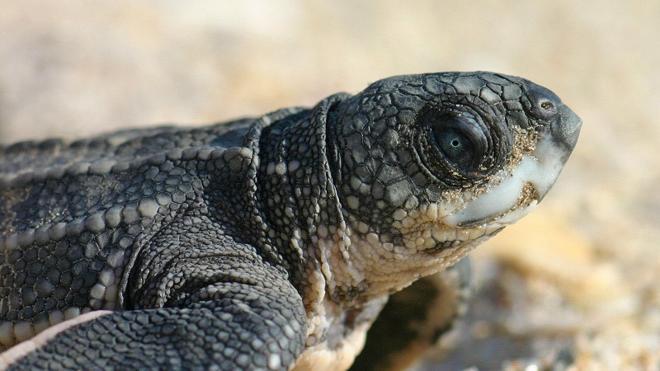 Eclosionan los primeros huevos de tortuga boba en el Oceanogràfic de Valencia