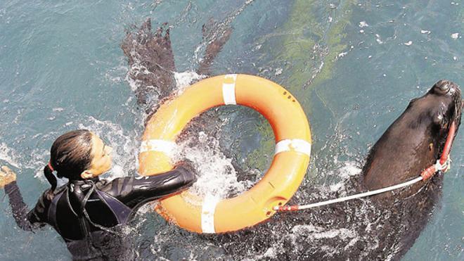 Estudian usar leones marinos para rescates y luchar contra la contaminación