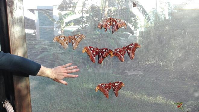 Nacen en el Oceanogràfic las mayores mariposas del mundo