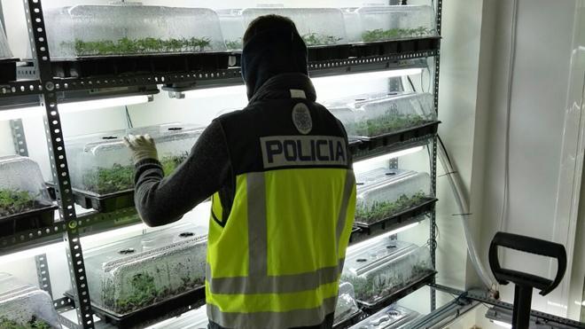 Desmantelan una plantación de marihuana con 2.800 plantas en la Pobla de Vallbona