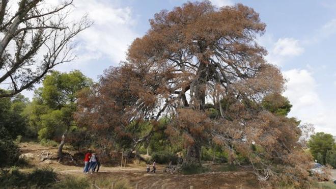 Medio Ambiente estudia reducir el número de árboles protegidos en la Comunitat