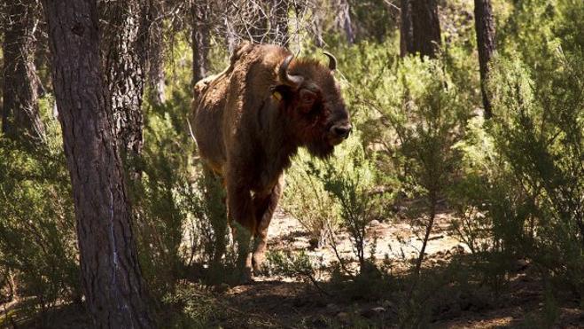 Otros tres bisontes murieron hace dos años en la reserva de Benagéber