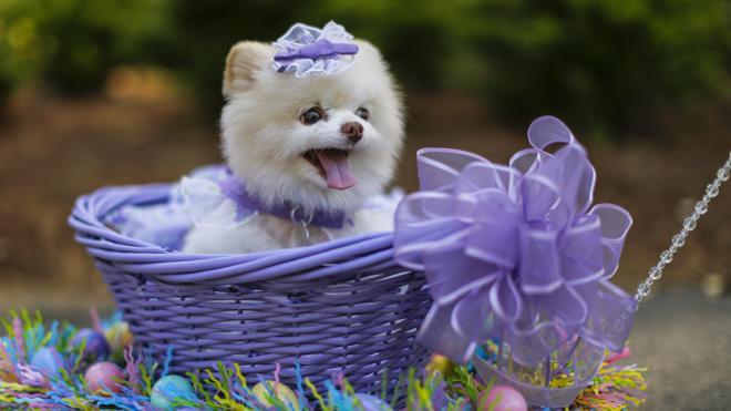Los perros más graciosos del desfile anual de Pascua de Georgia