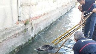 Complicado rescate de un jabalí caído en una acequia en Godella